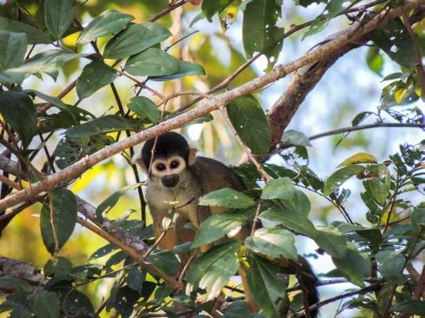 Macaco-de-cheiro-de-cabeça-preta - Imagem: Fernanda Paim