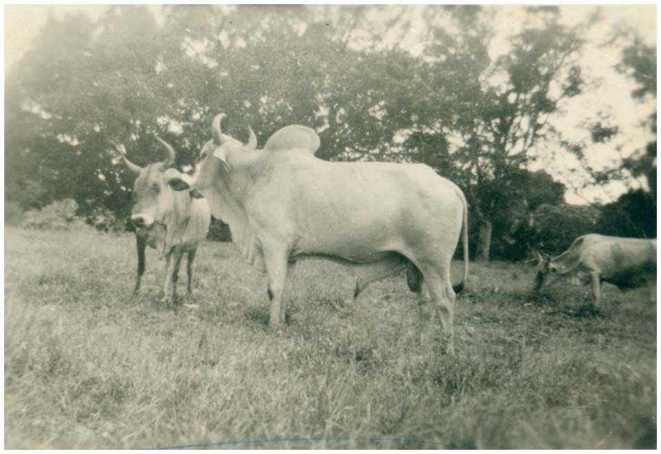 Criação de Gados Zebus na Escola de Aprendizagem Técnica e Agrícola de Missões : Tefé, AM - 1959 / Foto : IBGE