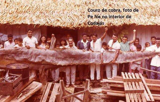 Couro de cobra no interior de Codajás / Foto : Divulgação