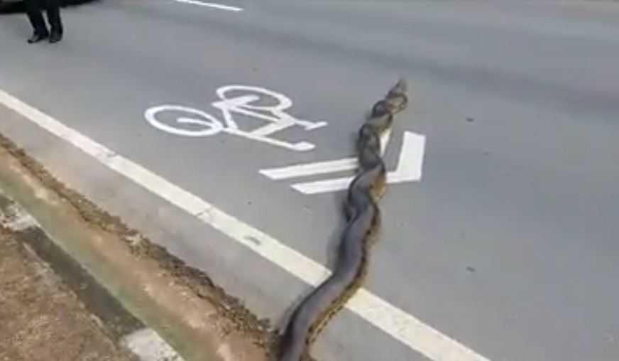 Vídeo flagra sucuri gigante atravessando a Avenida em Manaus - Imagem: Reprodução