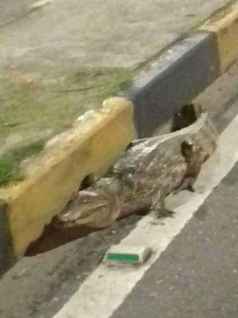 Jacaré se arreta e sai para dar um passeio de madrugada na Avenida Djalma Batista em Manaus / Foto: Reprodução