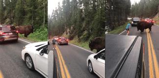 Homem enfrentou bisão e assustou motoristas. Foto: Facebook / Lindsey Jones