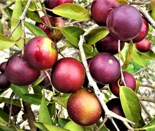 """O fruto nativo da região Amazônica também é conhecido como""""camucamu"""", """"caçari"""", """"araçá-d'água"""", ou ainda """"camocamo"""". / Foto: Divulgação/Internet"""
