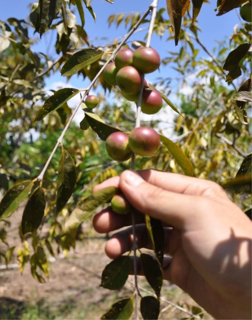 A fruta amazônica tem um alto teor de vitamina C e geralmente é usada para fins medicinais. / Foto: Divulgação/Intenet