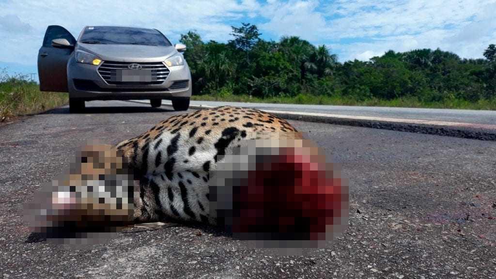 O animal foi encontrado esquartejado na manhã de domingo (13), na BR-174. / Foto: Franklin Moura/Harpia Web TV