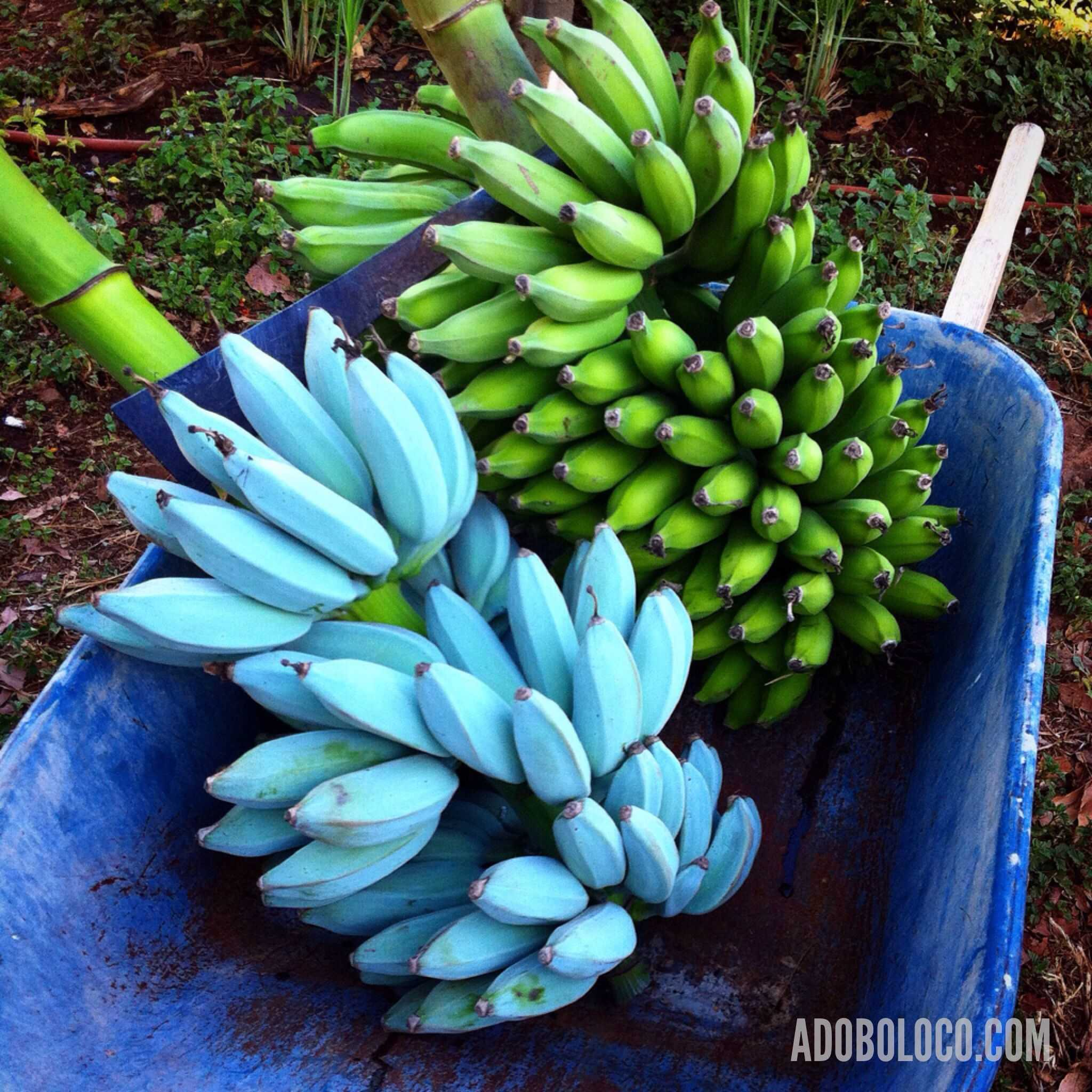 71474d17fe Essa variedade de banana chama a atenção pela aparência, com a planta em si  alcançando até seis metros de altura, os frutos um pouco maiores que o  habitual, ...
