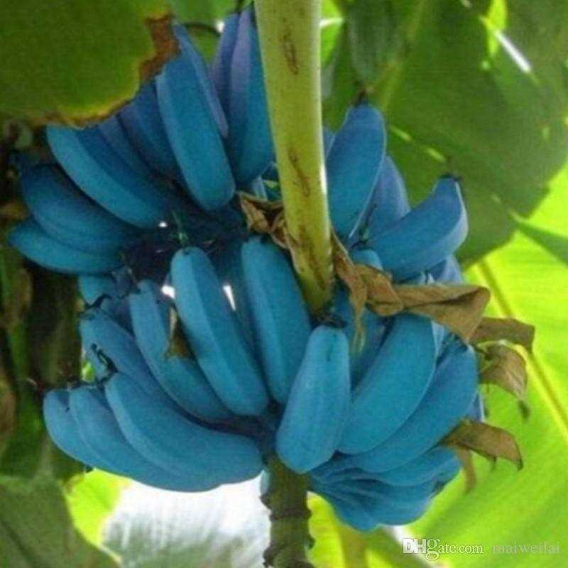 6da5caec6d A consultora e chef curitibana Taissa Schuartz conheceu a banana azul há  quatro anos, quando viajou à Argentina visitar a filha que fazia faculdade  lá.