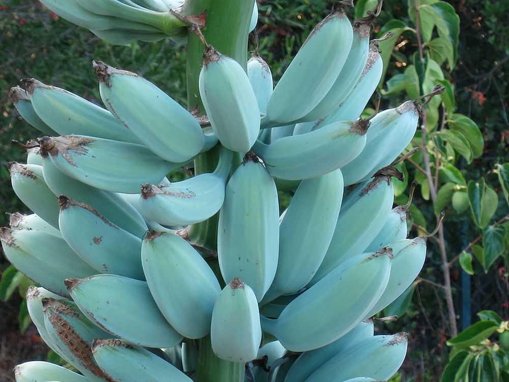 A banana azul, também conhecida como Ney Mannan ou Krie, só existe em alguns países de clima tropical. Foto: Sociedade Internacional da Banana/reprodução.