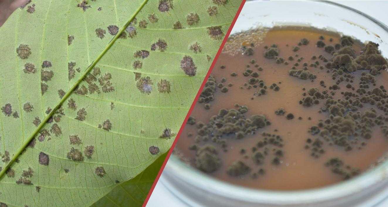 O mal-das-folhas é uma doença causada pelo fungo Microcyclus ulei. / Foto: Divulgação