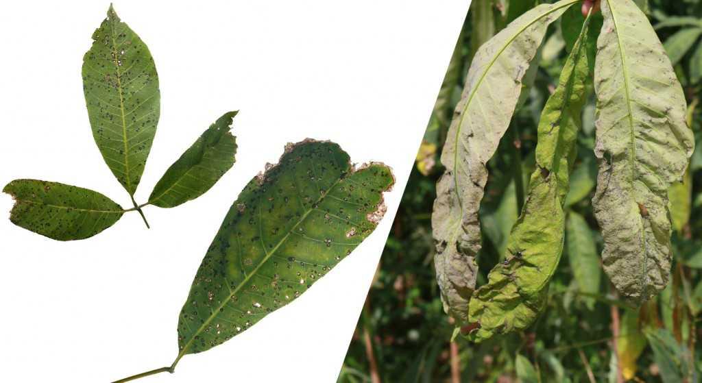 O mal-das-folhas causa 100% de perdas na produção. / Foto: Divulgação