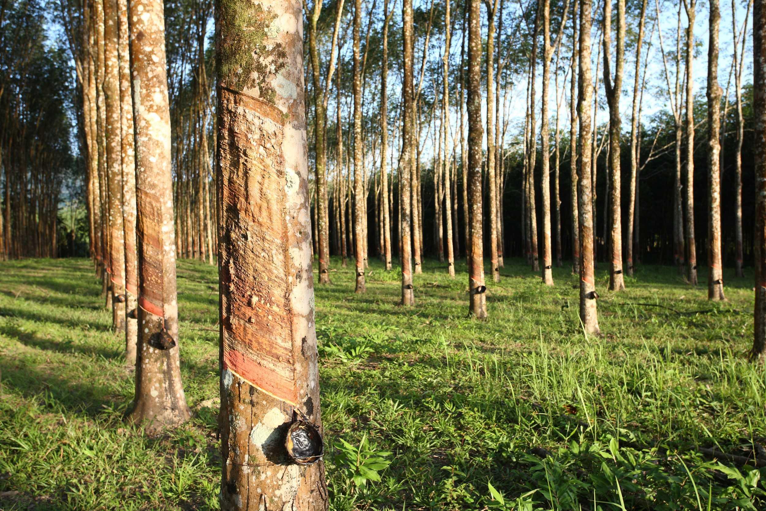 Segundo o Idam, a cadeia produtiva da borracha é uma das prioridades do Governo do Estado a ser implementada pela Secretaria Estadual de Produção Rural (Sepror). / Foto: Divulgação
