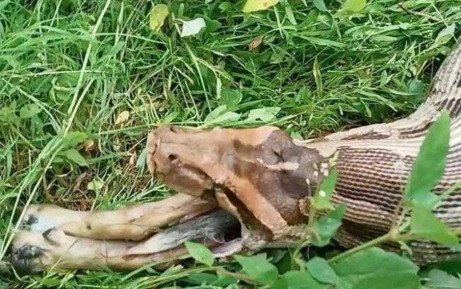 Cobra píton tinha 13 pés de comprimento / Reprodução/Daily Mail