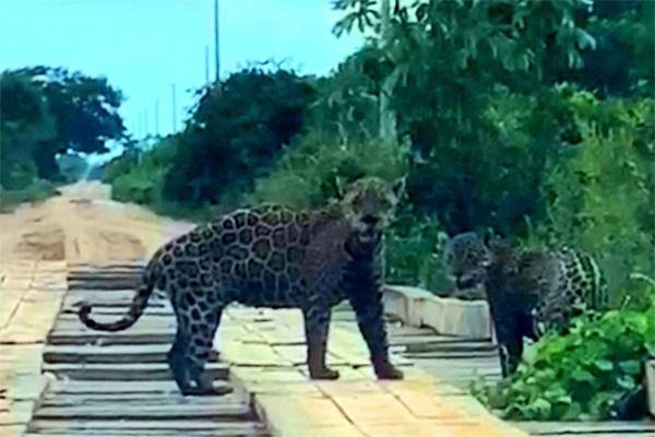 A diferença de tamanho entre os dois felinos pode indicar que se tratam de mãe e filhote (Reprodução)