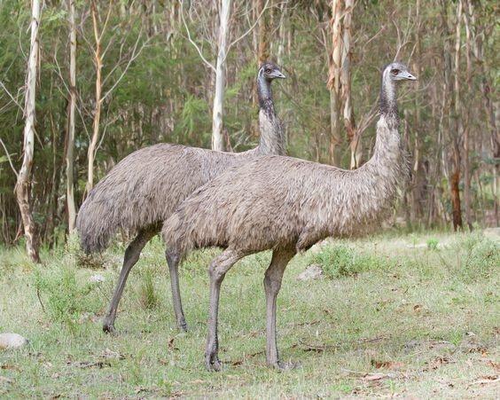 Emus australiano / Foto : Divulgação